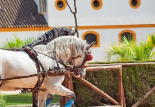 Pferd Jerez de la Frontera