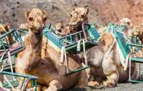 Lanzarote Kamelen