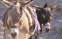 Ponys Rhodos