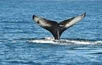 Südafrika Walbeobachtung